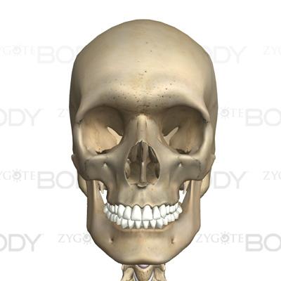 頭蓋骨(顔面も含む)