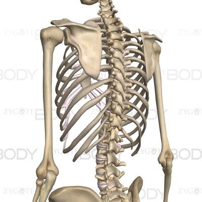 脊椎(頚椎・胸椎・腰椎)